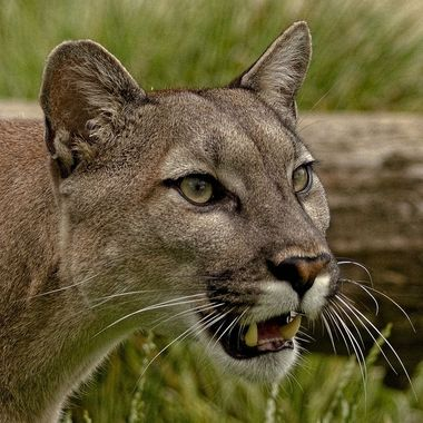The Cougar or Mountain lion is a very Unpredictable character