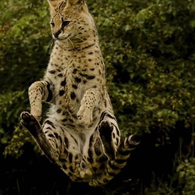The Serval is capable of jumping 3 metres vertically from a sitting position. ! Here it tried to catch a passing bird and was pivoting round to land