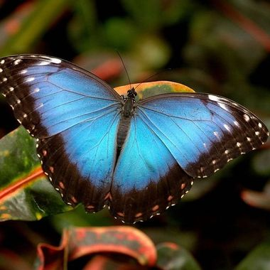 The Iconic Blue Morpho Butterfly captured in the Amazonian Rain forest.