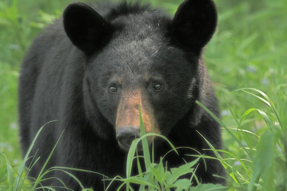 Black bear in Smokey Mountains