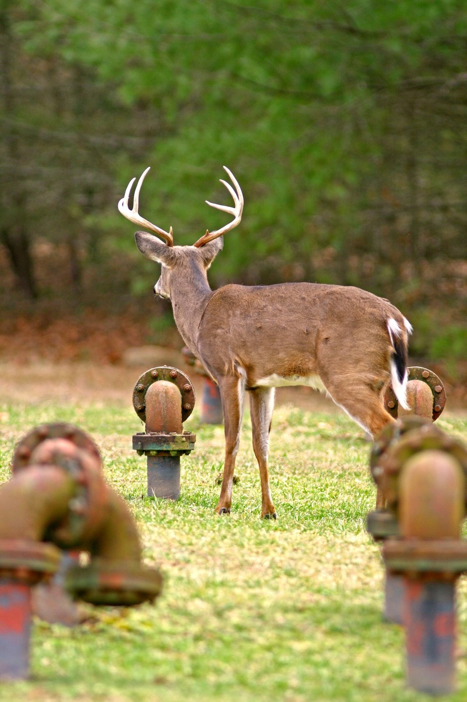 White Tail buck in old water main pipes