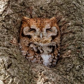 Screech owl (red morph) roosting in a tree cavity.