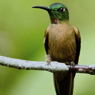 The Female Purple-Collared Woodstar.A common species in the cloud forests of Ecuador