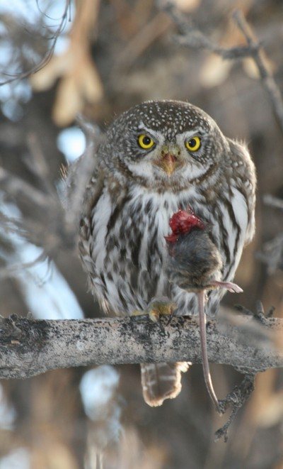 Pygmy Owl with Mouse