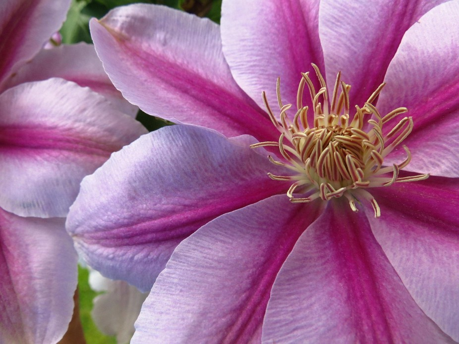 Clematis in pink