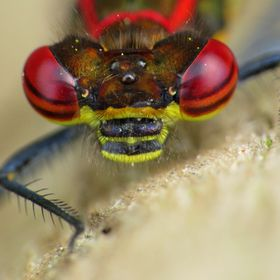 A macro of a Large Red Damselfly's eyes...