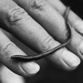 My father thought it was very strange when I first asked him to hold a worm for me so that I could take a photo. He loved coming onto this websit...