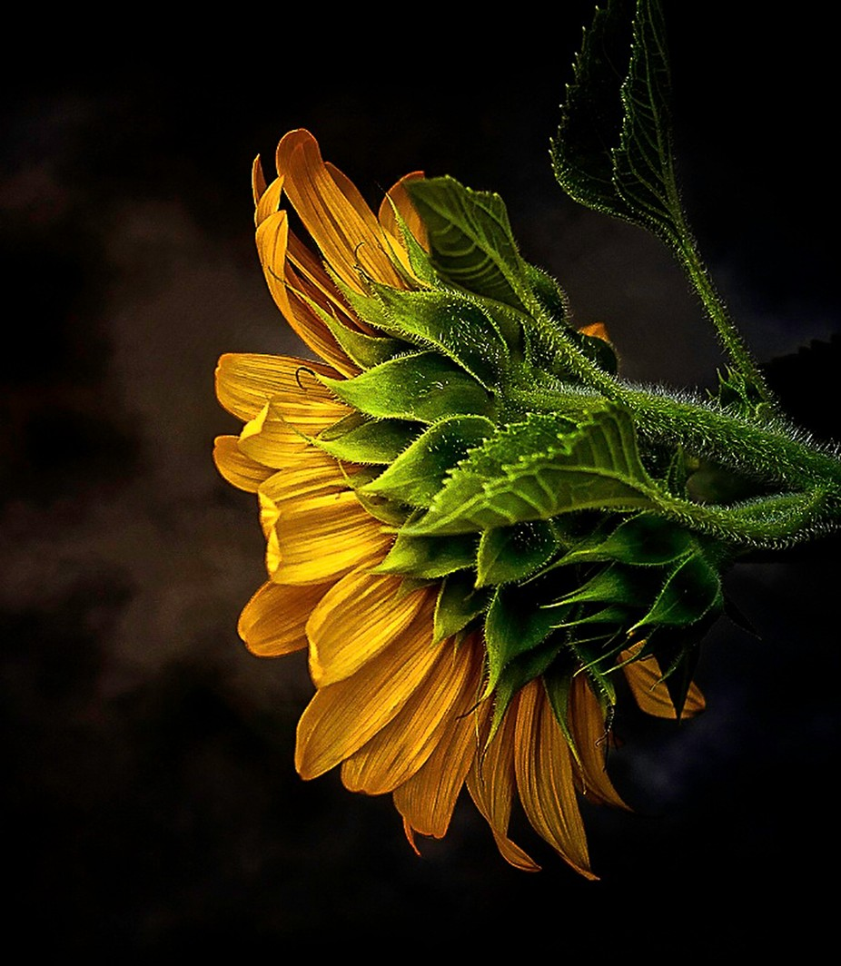 sunflower by caroleann1947 - Monthly Pro Vol 17 Photo Contest