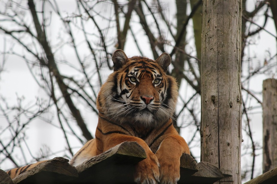 This beautiful tiger was snapped on it\'s high tree top platform.