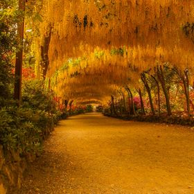 The Laburnum Arch at Bodnant garden in Conwy. a very famous arch and a must for visitors. Usually flowers in May but early June in 2013.