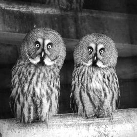 Two Great Grey Owls (Strix nebulosa) at Blackbrook zoo, Staffordshire