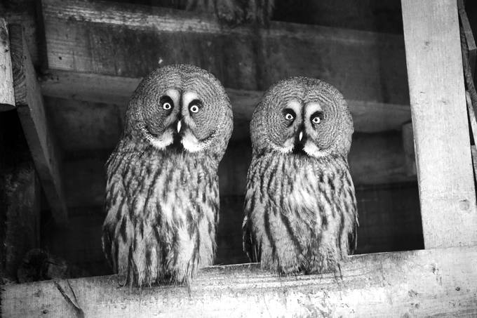 Great Grey Owls by annaphillips - Epic Black and White Photo Contest