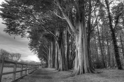 Big trees at Plas Newydd