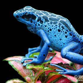 The blue poison arrowfrog (Dendrobates tinctorius azureus) can be found in parts of Suriname and Brazil.
