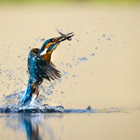 A male kingfisher taking off from the water with his breakfast