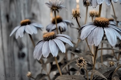Blue Cone Flowers ....
