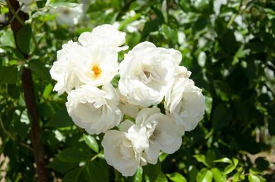 reno rose
