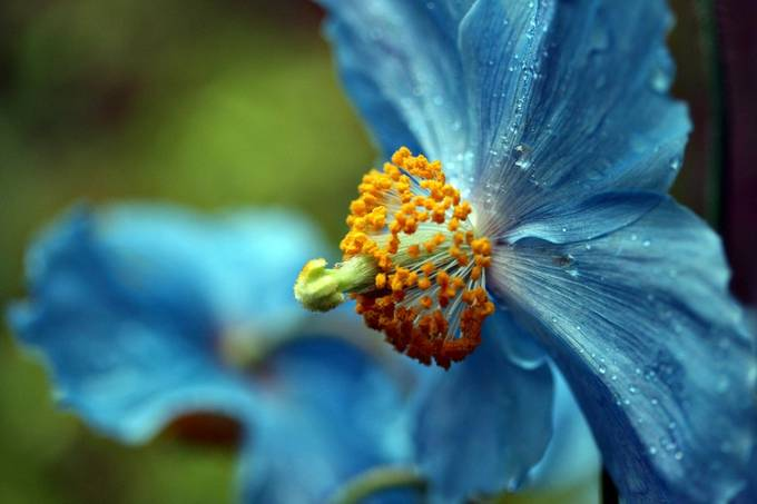 blue-poppy by pamramseycorey - Beautiful Flowers Photo Contest