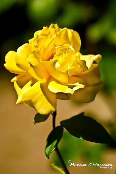 A rose named Christine