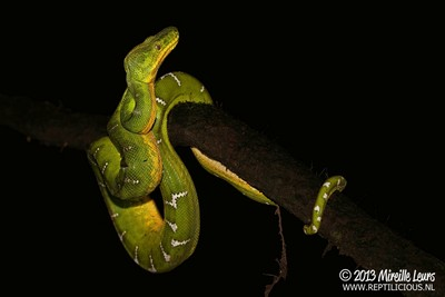 Wild Emerald Tree Boa