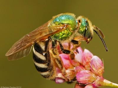 A Gem of a Bee