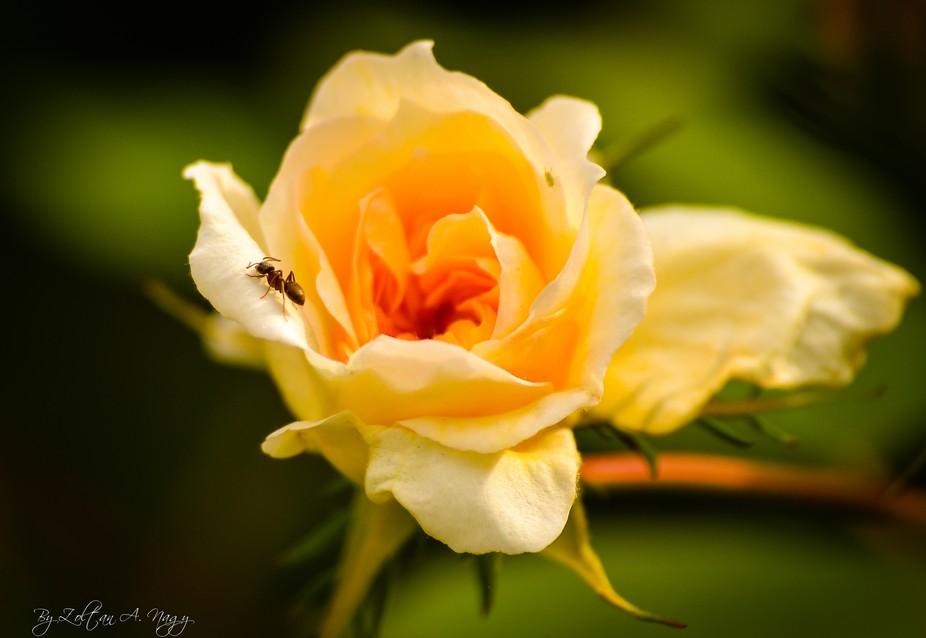 Ant ona rose