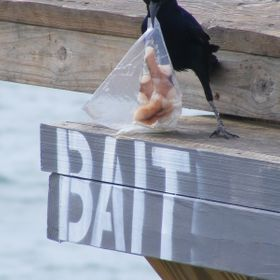 CROW AT BAIT STORE