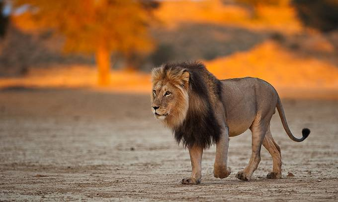 rule of thirds photography. Kgalagadi Lion By Johan_barnard - Rule Of Thirds Photography Contest. \