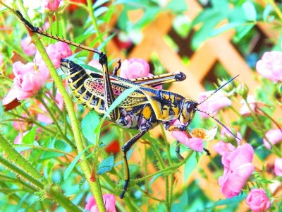 Bold Color Balances Out Super Sized Grasshopper