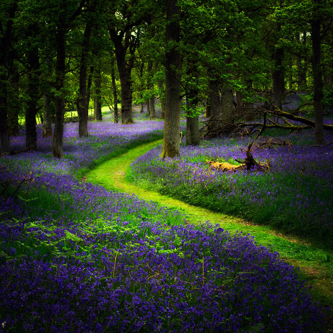 Bluebell path... by davidmould - Twisted Lines Photo Contest