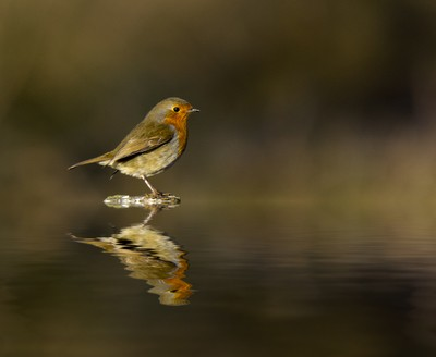 robin reflecting