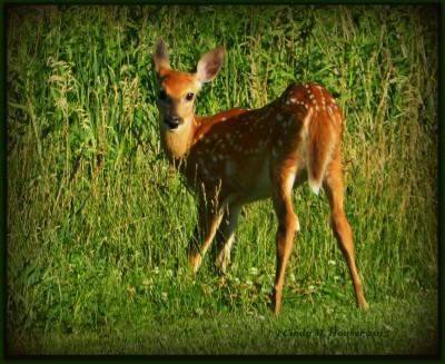 Another Young Fawn