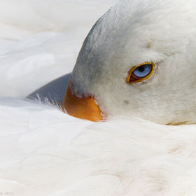 Our beautiful white goose who sadly passed away only a few days ago. She had stunning blue eyes as this photo has captured. Making this one of my...