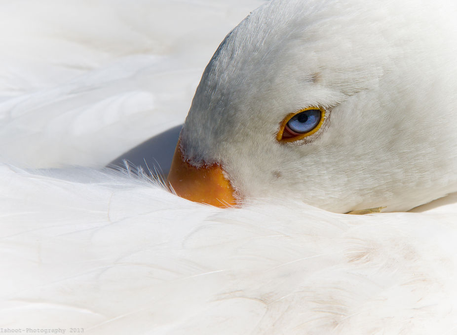 Our beautiful white goose who sadly passed away only a few days ago. She had stunning blue eyes a...