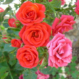 Bright Colours - Roses