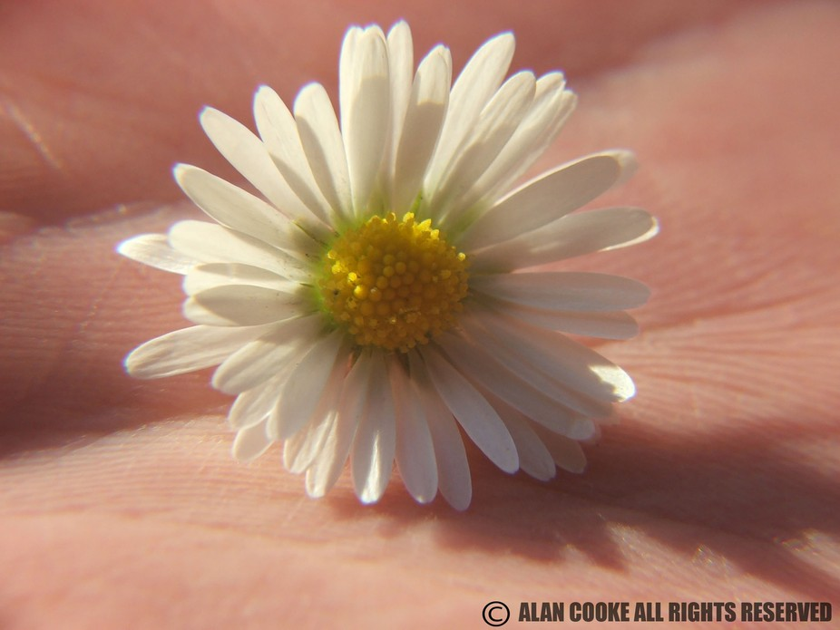 My wife holding a daisy while i took the shot macro style i do love how her skin gives the backro...