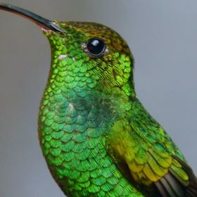 I stood out in the rain for a long time trying to get good hummingbird shots. I love the detail in the feathers. This was taken in Monteverde, Co...