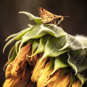 Moth on wilted sunflower.