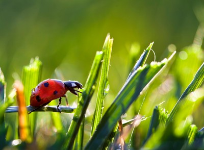 Ladybug in Dew Covered Grass