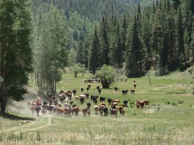 Cattle Drive. A Rare Site. Jemez NM