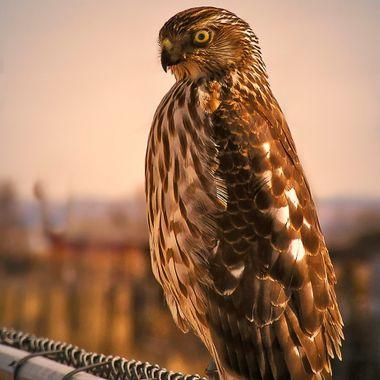 """""""Coopers Hawk"""""""