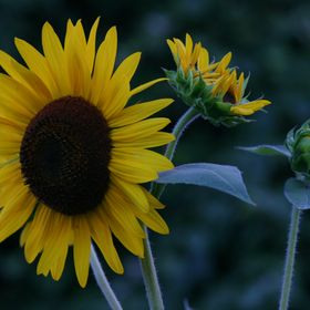Phases of the Sunflower