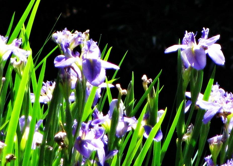 Native Louisiana Iris