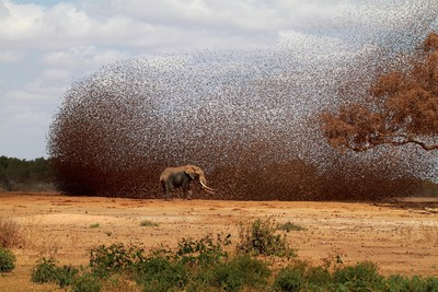 Red_billed_Quelea7_East_Tsavo_Kenya_191010
