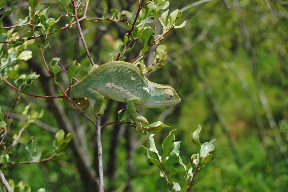 Cameleon at Nylsvley nature conservation  area outside Nylstroom South Africa