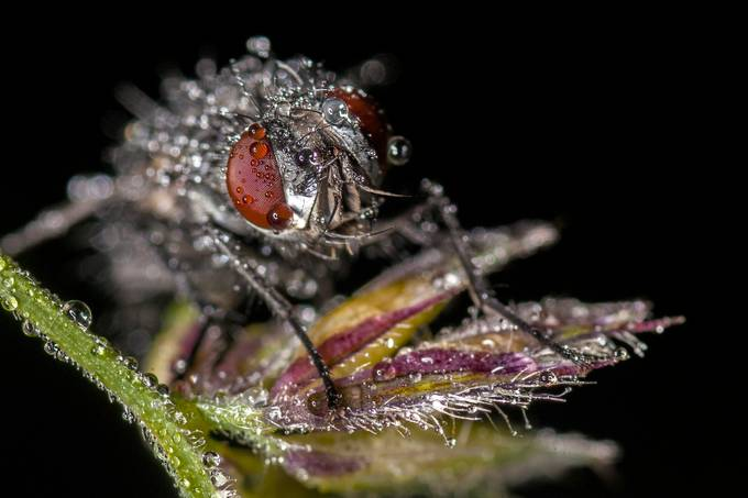 Fly by martynleaning - Macro Water Drops Photo Contest