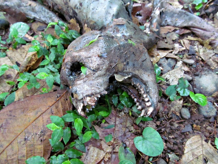 Costa Rica jungle dead howler monkey