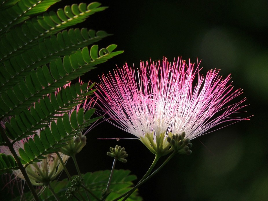 Brightly colored Mimosa bloom.