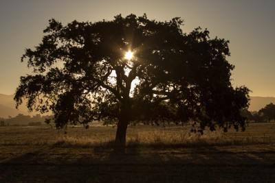 Sonoma County Tree