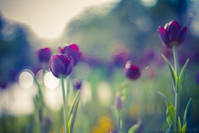 Poetry of Tulips